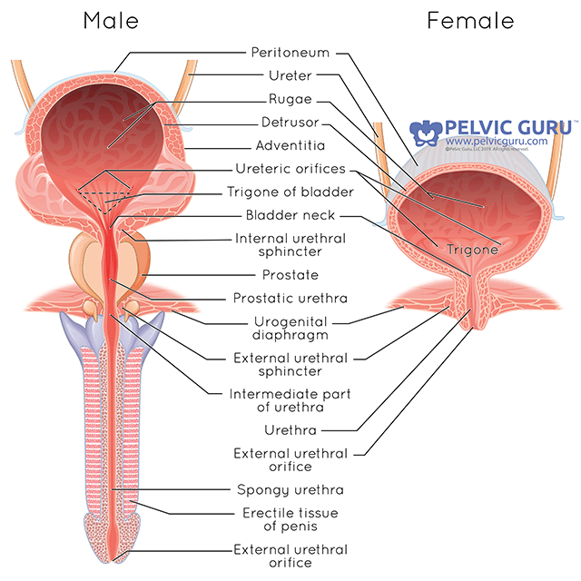 Side by side anatomical image labeled showing all the internal bladder parts for male and female