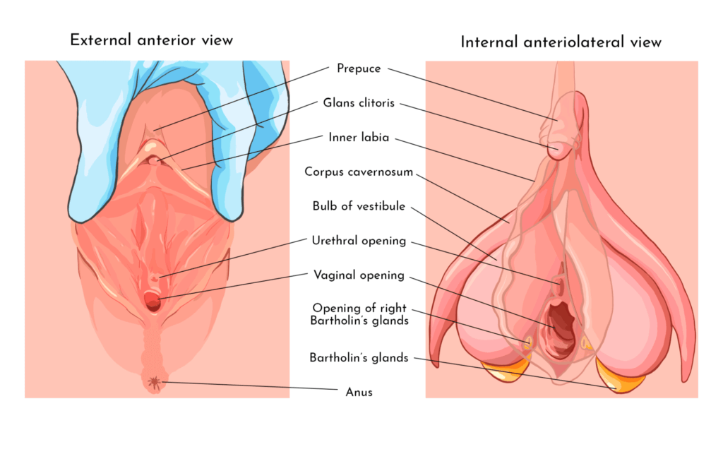Side by side medical diagram with various vaginal and clitoral parts external and internal labeled