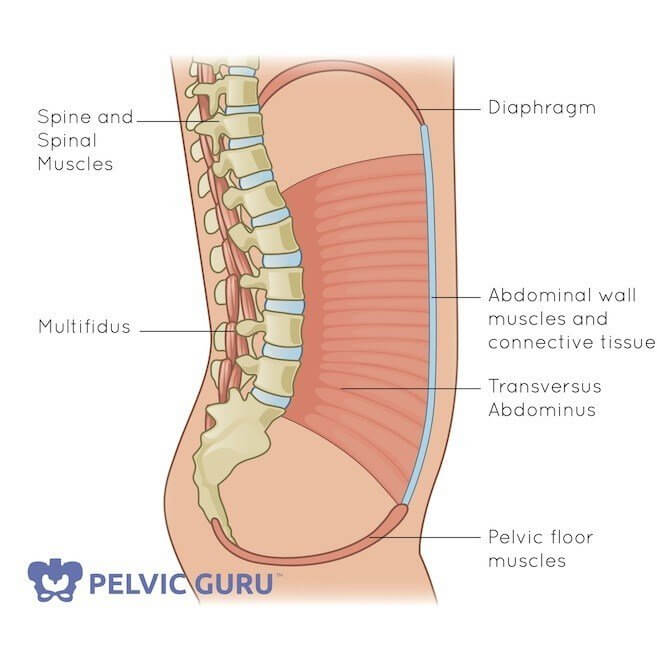 Medical image core canister pelvic floor muscles connect in circle to spine and abdomen to diaphragm