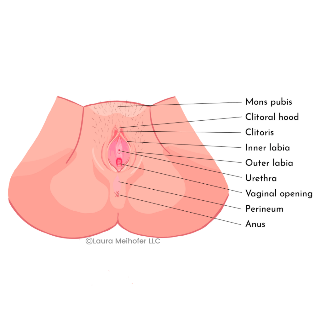 a color diagram of a woman's outer genitals from the view of below her