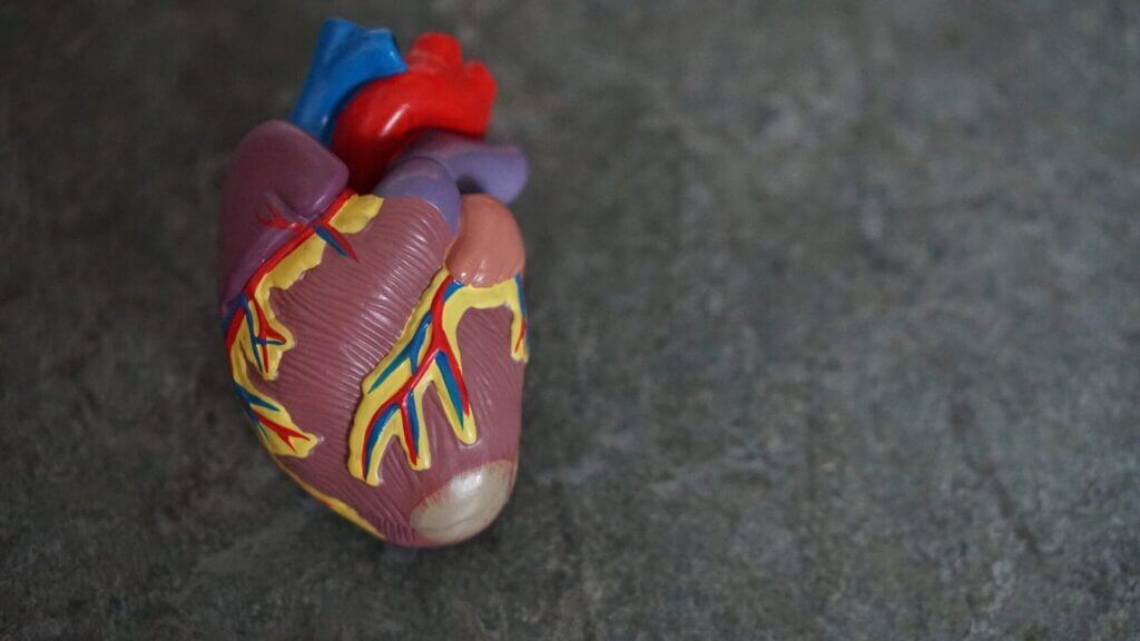 Picture of a 3D model of a human heart lying on a concrete surface with different colored parts