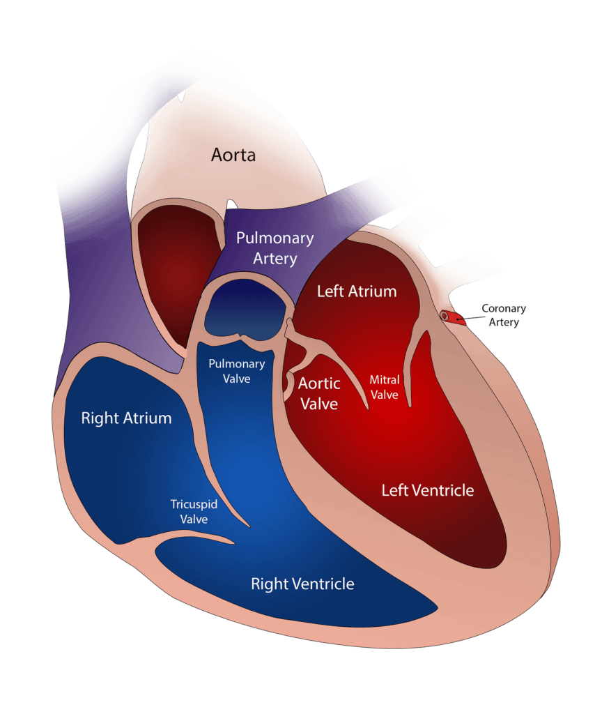 Medical illustration of the atriums and various parts of the heart muscle displayed in red and blue