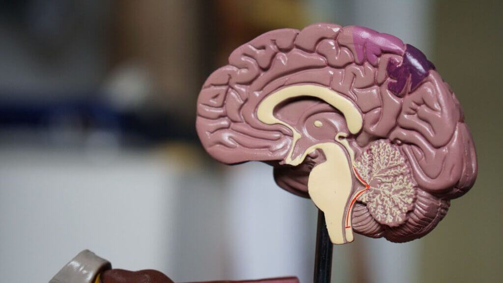 Brown plastic brain model on stand showing inside one half of brain with detailed parts lighter tan