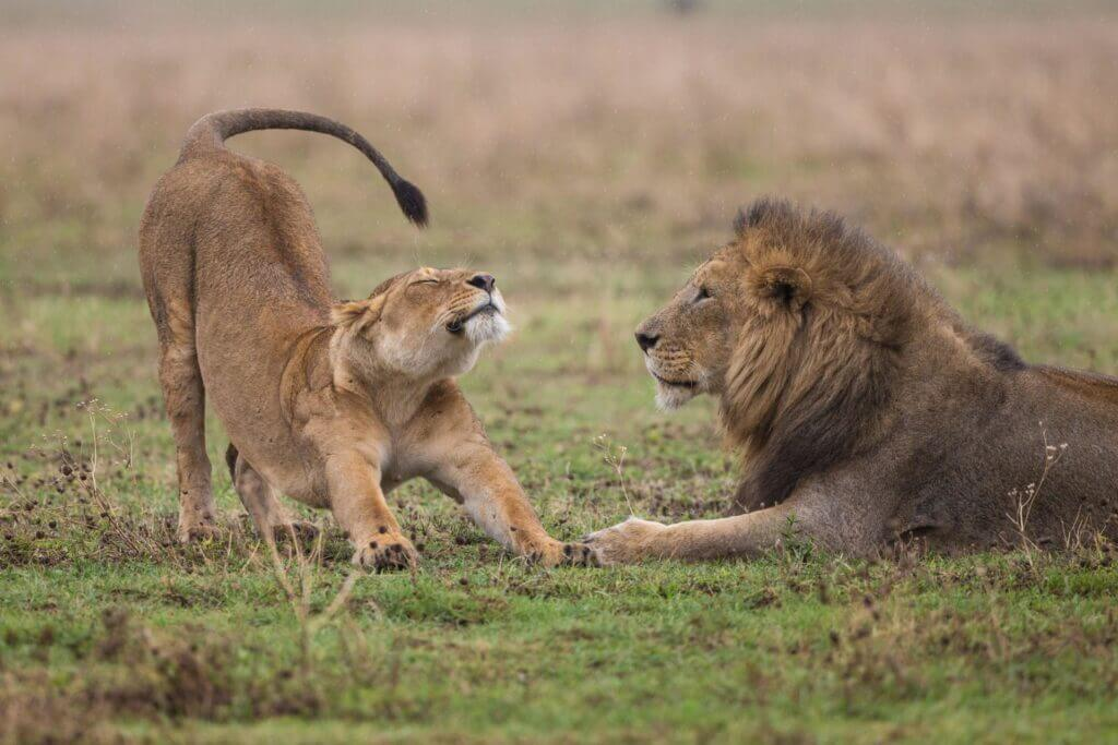 Lion laying down lioness to left deep stretch through front paws back legs straight hips tilt back