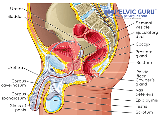 Labeled medical diagram showing all the internal abdominal and reproductive organs for male anatomy