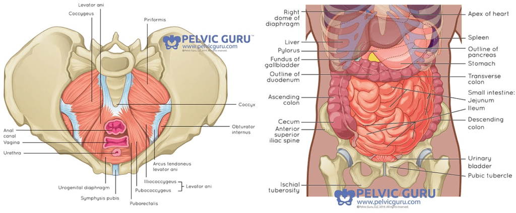 Side by side anatomical image from 2 angles showing internal bowel and organs for male and female