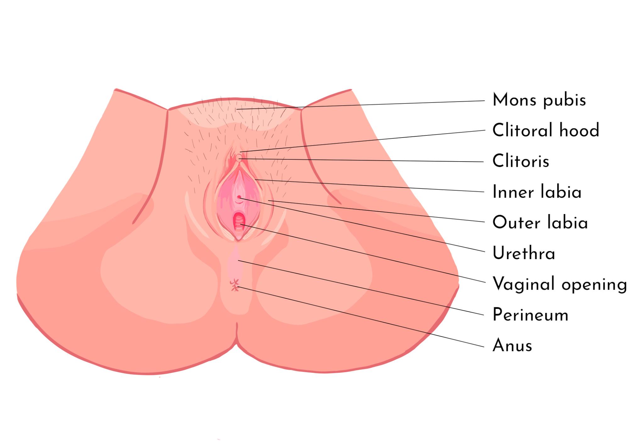 Antaomy illustration of vulva
