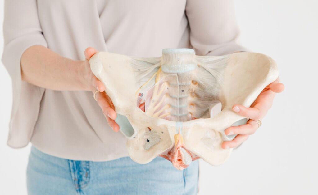 vagina owner holding pelvic floor anatomy model
